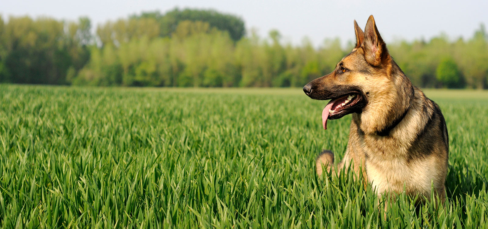 german shepherd laying in grass
