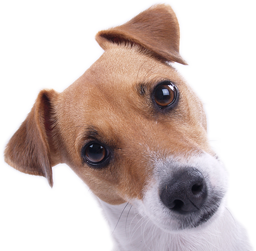 Jack Russell Terrier covered by dog insurance
