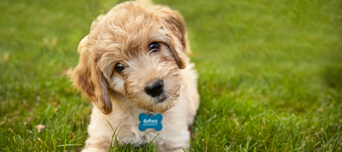 Adding a goldendoodle to your family