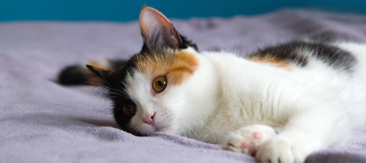 calico cats blog 4paws pet insurance