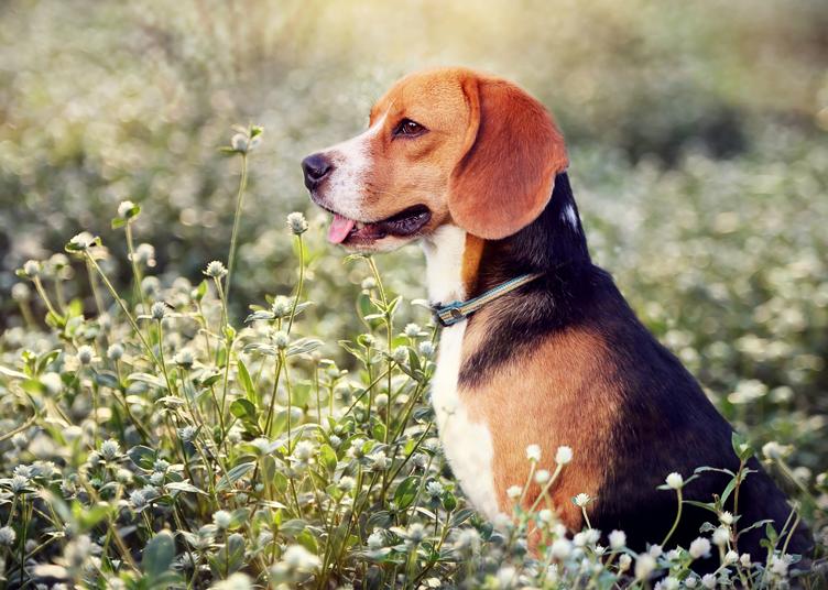 Beagle Family Dog