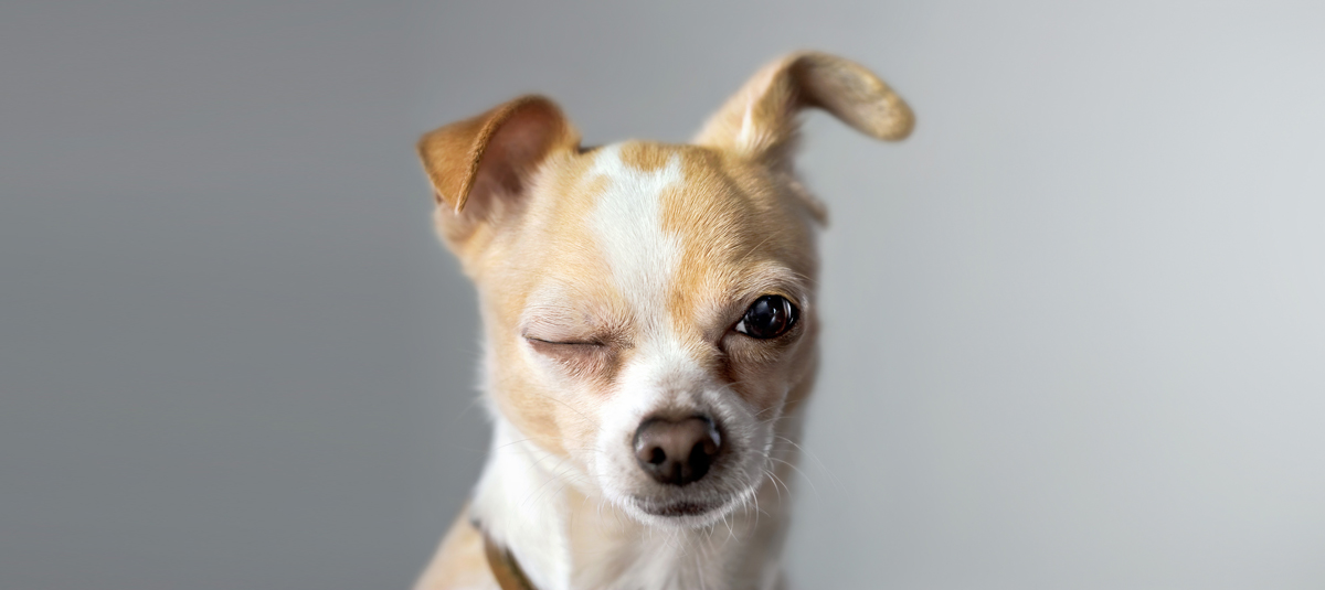 Chihuahua Breed Info