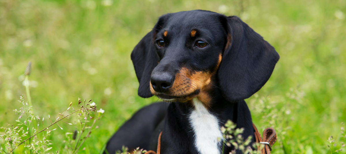 dachshund dog breed information blog 4paws pet insurance
