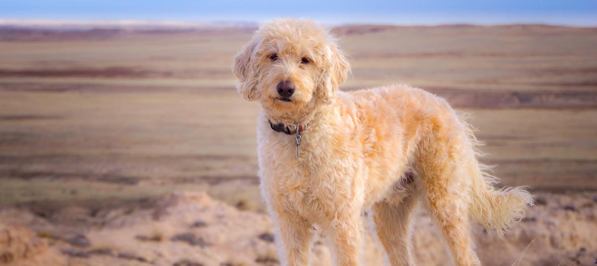 Labradoodle Designer Dog