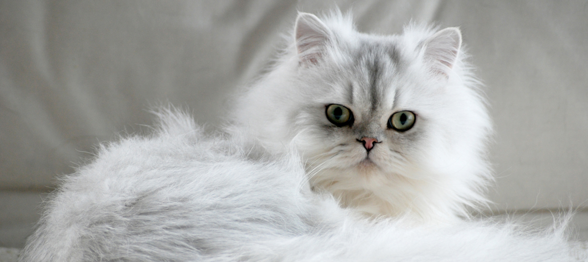 Persian Cat Purebreed