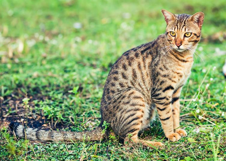 Bengal_Cat