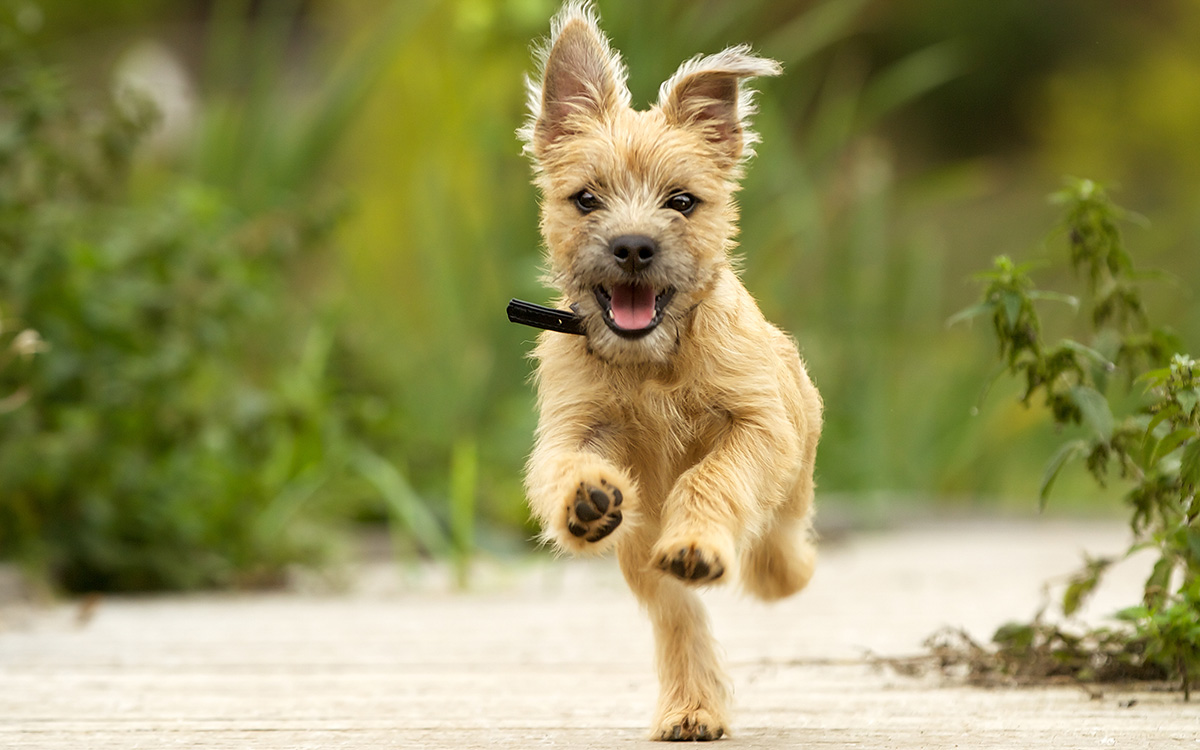 Cairn Terrier Dog Breed Information Blog 4paws Pet Insurance