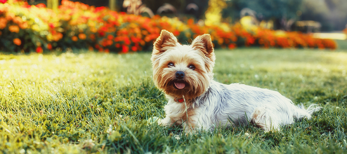 Yorkshire Terrier Yorkie Dog Breed Information 4paws Pet