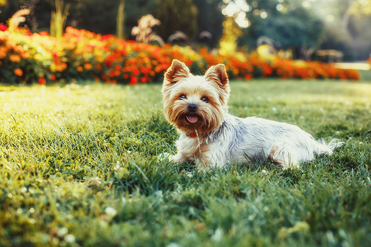 Yorkshire Terrier - Yorkie
